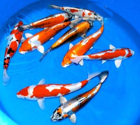 Goldfische abzugeben in essen tiere kleinanzeigen Teichfische deutschland