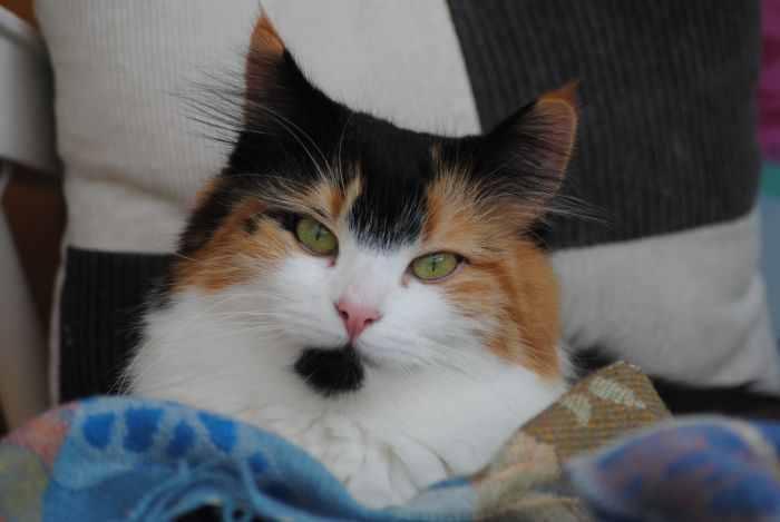 Norwegische Waldkatze Ausgewachsen Norwegische Waldkatze 4,5