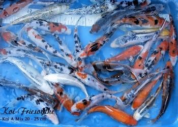Professioneller koi versand teichfische online kaufen in for Koi teichfische