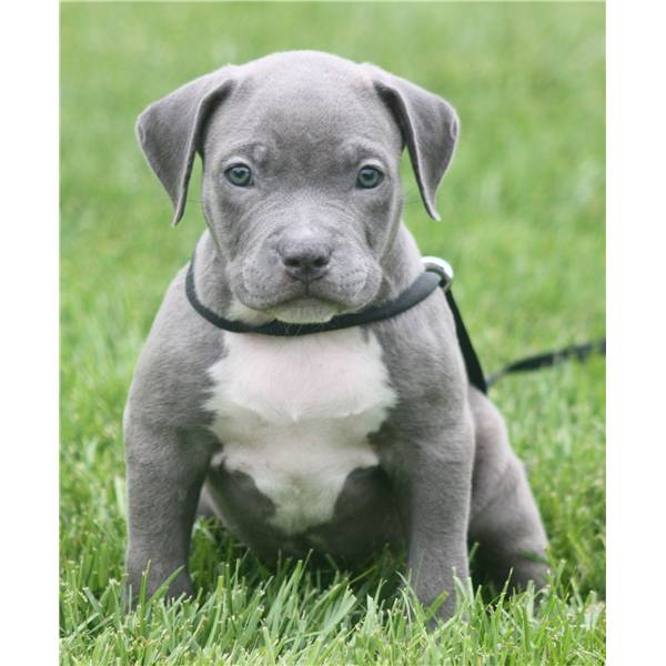 American Pitbull Terrier Welpen Bully Type In Frankfurt Tiere