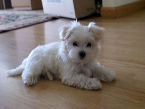 Mini Malteser Welpen Zu Verkaufen In Volkach Tiere Kleinanzeigen