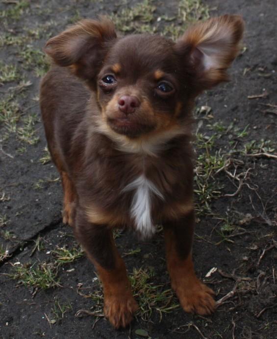 Chihuahua Minni Madchen Black Tan Langhaar In Bad Freienwalde Tiere Kleinanzeigen