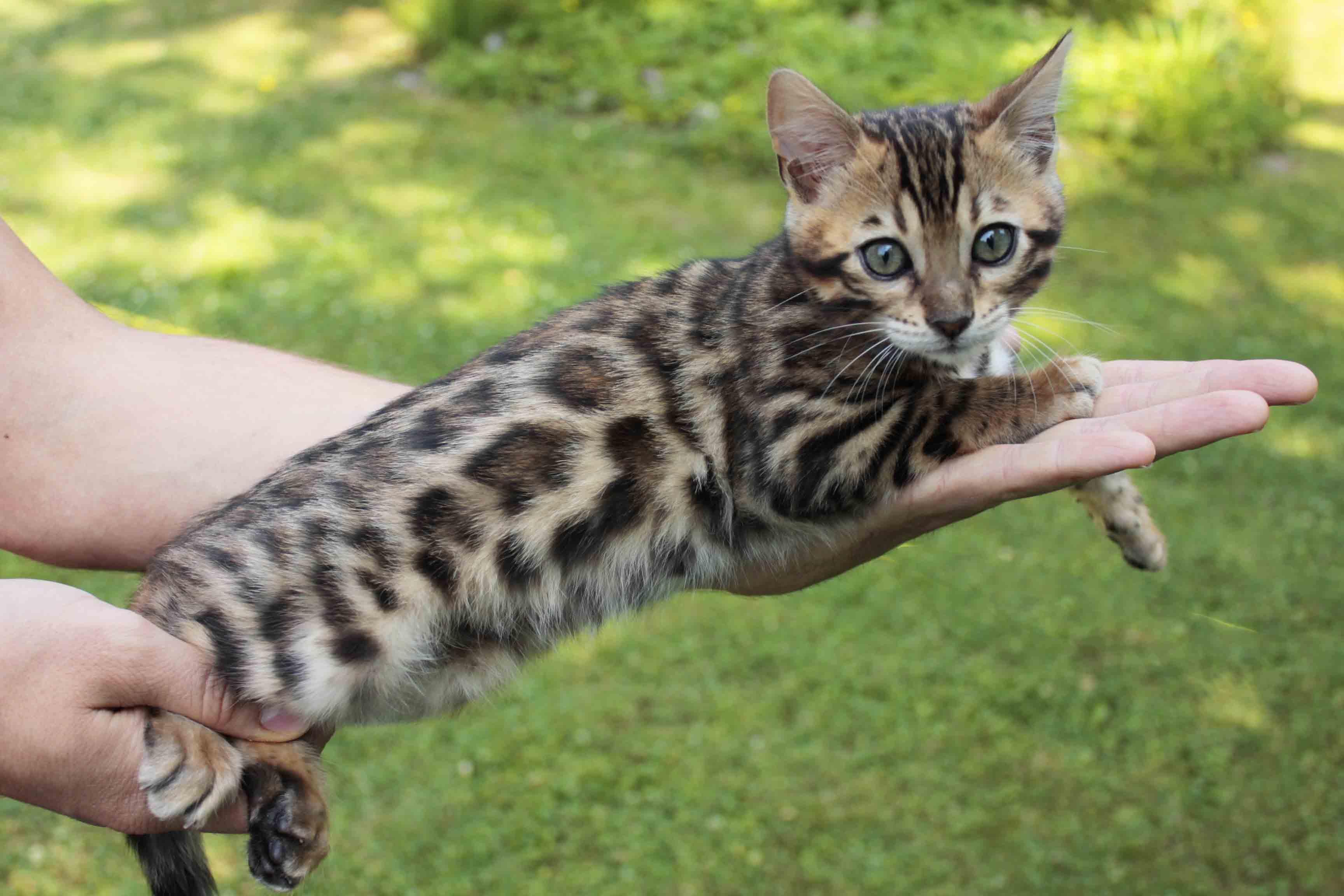 Bengal Kitten Bengalkitten weiblich in Straubing | Tiere ...