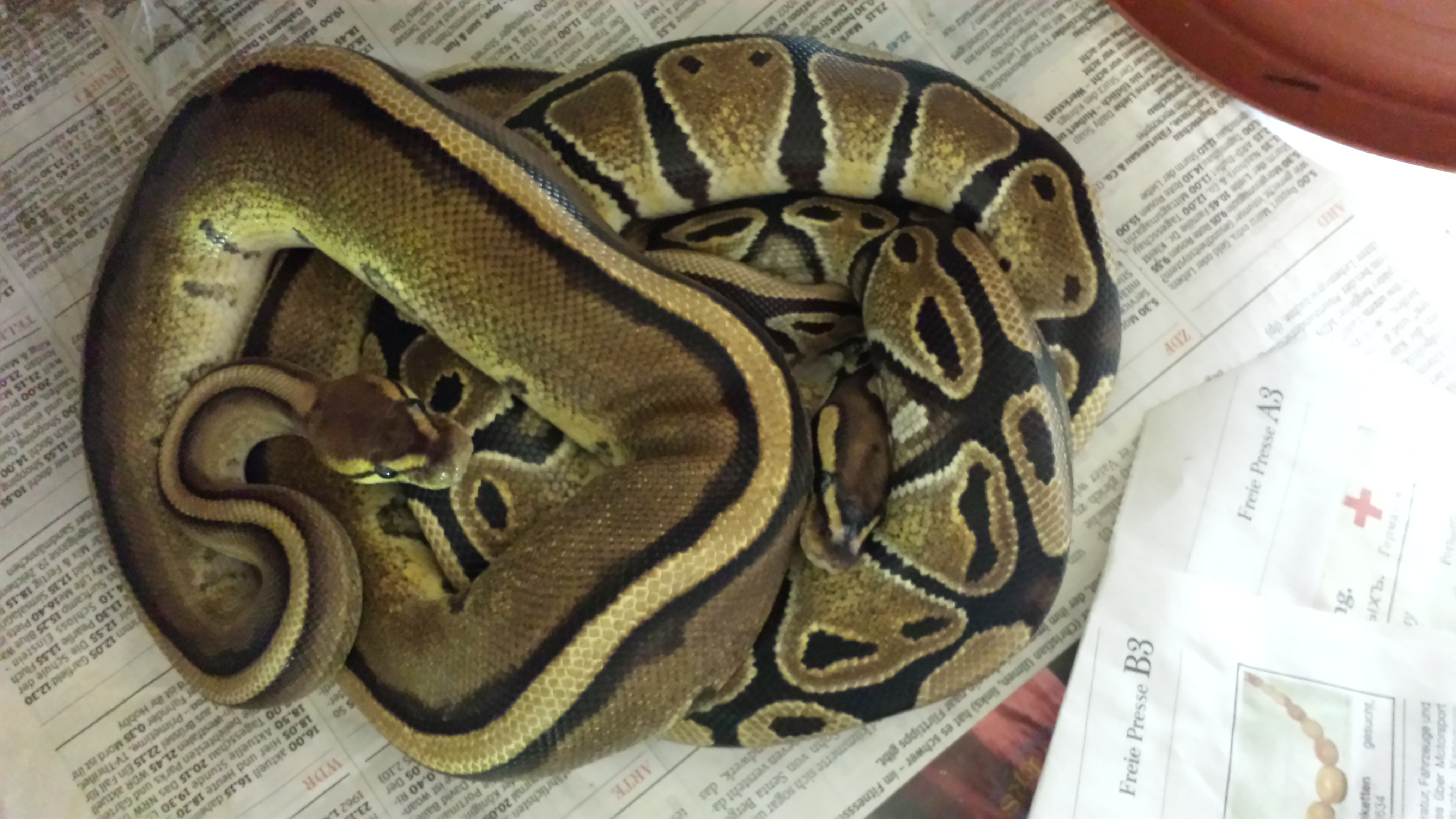 Konigspythons Bambusnattern Kornnattern Schonnattern Hausschlangen