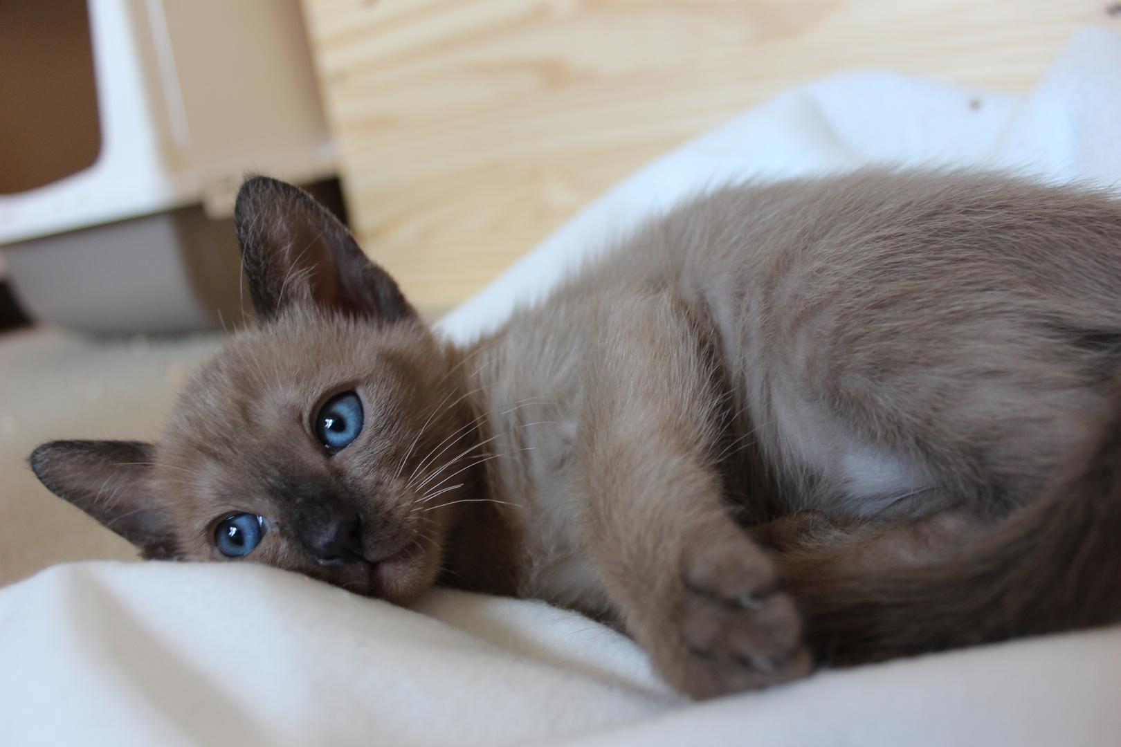 s sse tonkanesen babys kitten. Black Bedroom Furniture Sets. Home Design Ideas