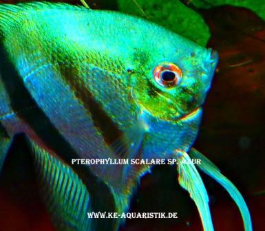 Biotop teichfische koikarpfen direkt vom z chter in soyen for Skalare zucht